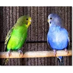Indukan Burung Parkit