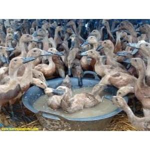 Bebek Peking Hidup