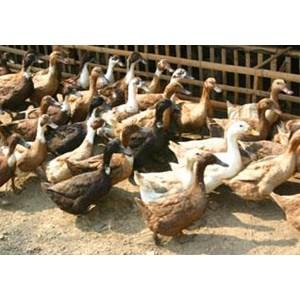 Karkas Ayam - Daging Ayam