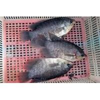 Ikan Gurame Konsumsi 1