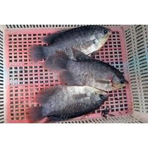 Ikan Gurame Konsumsi