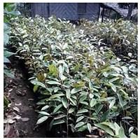 Bibit Tumbuhan Durian Montong Dan Durian Kani