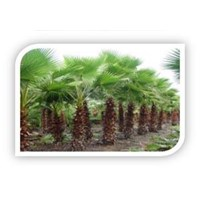 Pohon Palem Washingtonia 1
