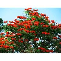 Pohon Spathodea 1