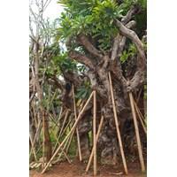 Pohon Kamboja 1