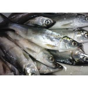 Bibit Ikan Bandeng Tawar