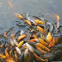 Ikan Mas 1