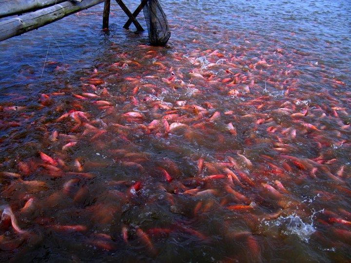 Image Result For Bibit Ikan Nila