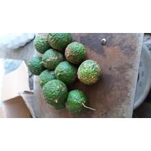 buah sundai