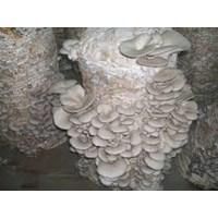 Jual Mushroom Oyster