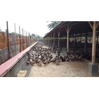 Peternakan bebek 3