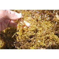 Rumput Laut Bima