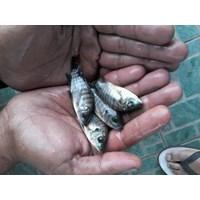 Jual Benih Ikan Nila