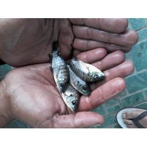 Jual Benih Ikan Nila Harga Murah Sukabumi Oleh UD Mg Fish