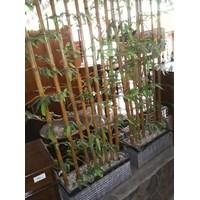 Tanaman Hias Pohon Bambu Besar