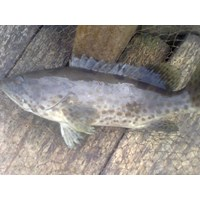 Jual Ikan Kerapuh Untuk Export Dan Lokal
