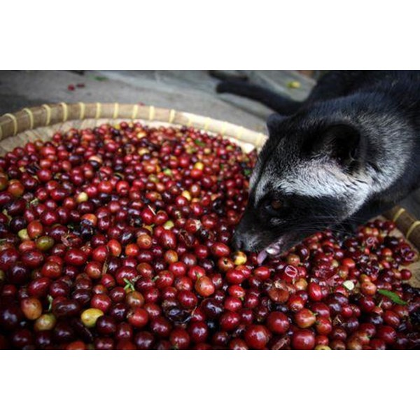 Arabica Luwak coffee Powder 100 grams