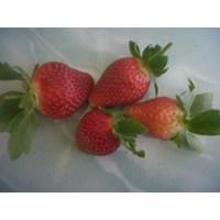 Jual Buah Segar Strawbery