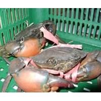 Seafood Segar - Kepiting Bakau