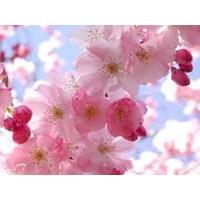 Jual Bunga Sakura