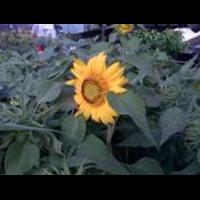 Bunga Matahari- Helainthus