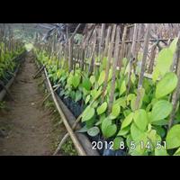 Bibit Lada Belitung