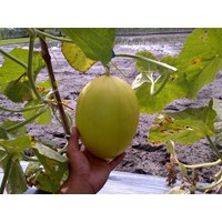 Jual Buah Segar Melon Golden Apolo
