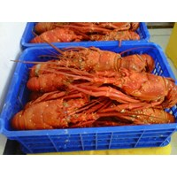 Jual LOBSTER COOK SZ 500-1000 GR LOBSTER MATENG BEKU