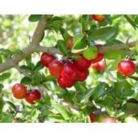 Jual Barbados Cherry