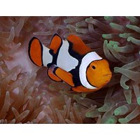 Jual Amphiprion Percula