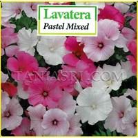 Bunga LAVATERA Pastel Mixed