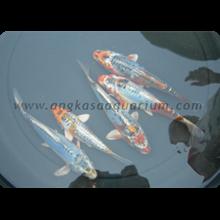 Jual Koki Grade A Harga Murah Jakarta Oleh PT Angkasa Aquarium
