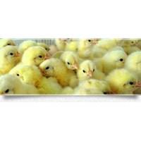 Jual Bibit Ayam