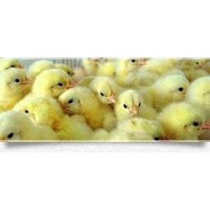 Jual Bibit Ayam Harga Murah Surabaya Oleh PT Wonokoyo Jaya Corporindo