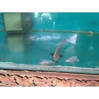 Jual Bibit Ikan Cobia