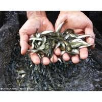 Jual Benih Ikan Grasscarp