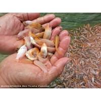 Unduh 9200 Gambar Ikan Nila Larasati HD Terpopuler