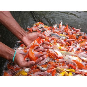 Sell koi fish from indonesia by pt jaya perkasa agrocultur for Cheap koi fish