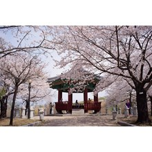 6D Relax Korea Cherry Blossom + Mt. Sorak Dep Mar-Apr (WH35) Start From IDR 9.300.000 /PAX Flight By: ASIANA AIRLINES