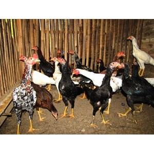 6800 Gambar Hewan Ternak Ayam Terbaik