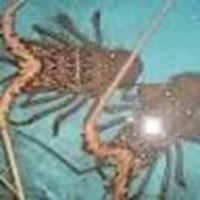 Jual Lobster Laut Organik