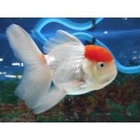Ikan Mas Koki Jenis Oranda