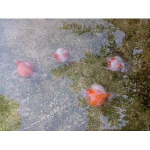 Jual Ikan Mas Koki Mutiara Harga Murah Tulungagung Oleh Cv Tugu