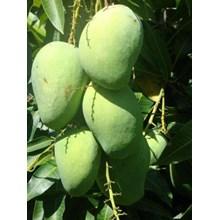 Mangga Madu Anggur