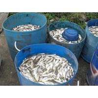 Ikan Bilih Ikan Perak Ikan Pora-Pora