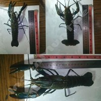Lobster Air Tawar Red Claw Crayfish Konsumsi Dan Indukan