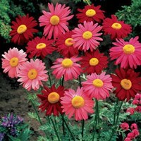 Jual Benih Bunga Tanaman Hias Robinsons Daisy Bunga Daisy Crimson Dan Pink