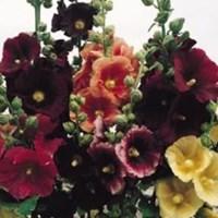 Jual Benih Bunga Tanaman Hias Hollyhock Pioneer Mix Colour Bunga Musim Panas