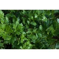celery leaves 1