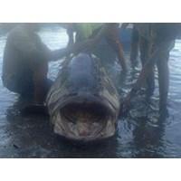 Jual Ikan